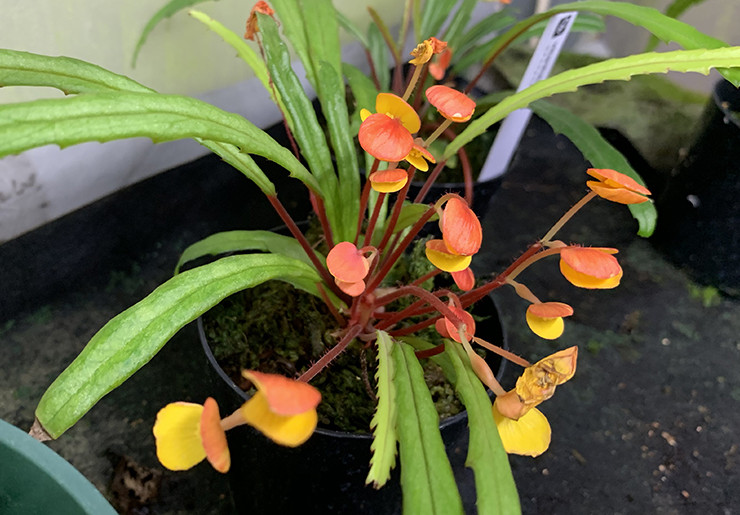 vittariifolia/ビタリフォリア