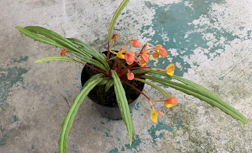 vittariifolia001