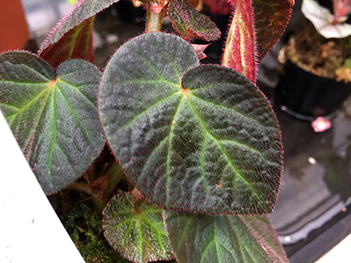Thelmae ×soli-mutata001