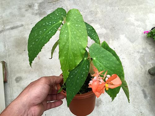 Orange Rubra/オレンジ・ルブラ