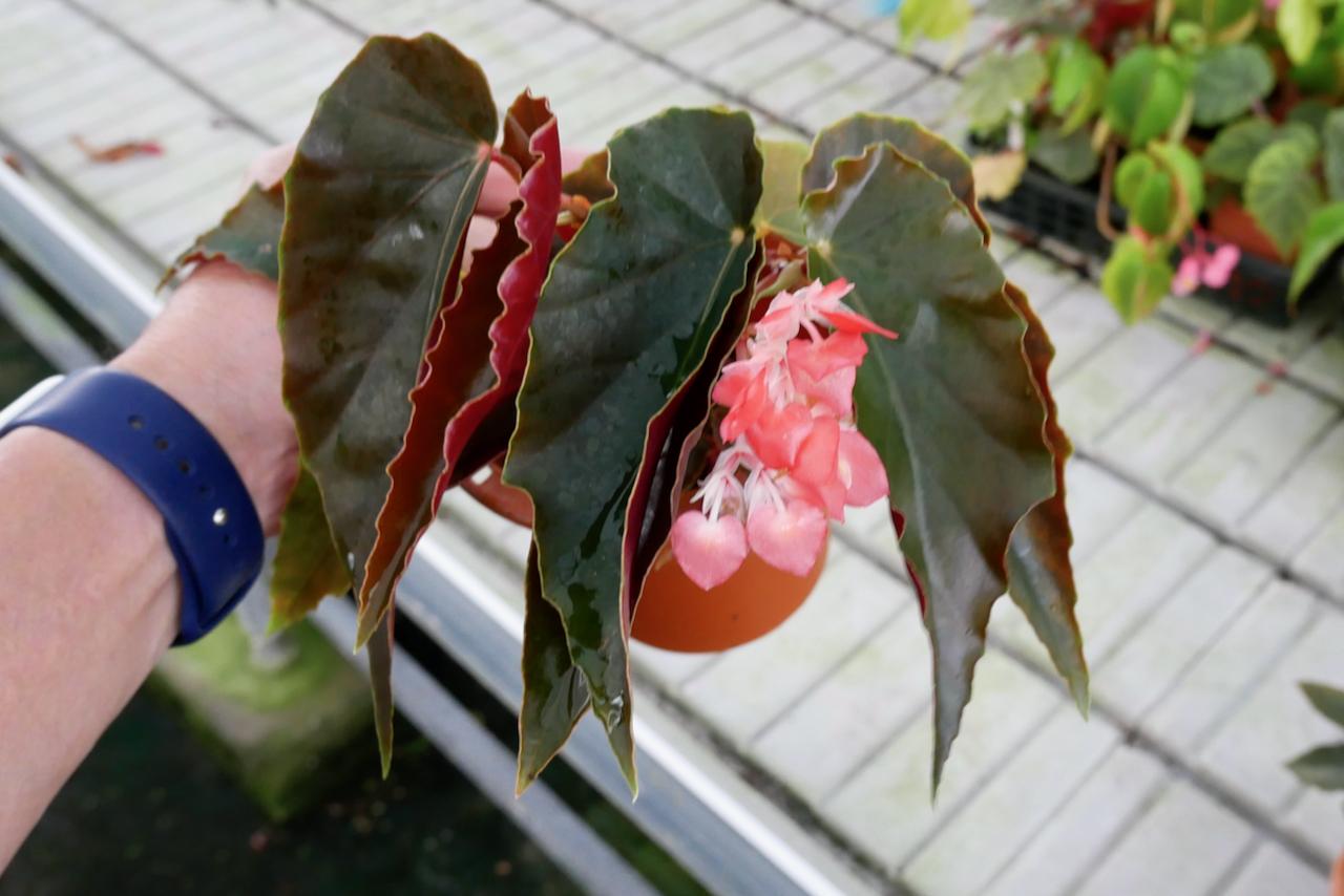 Pink chandelier/ピンク・シャンデリア