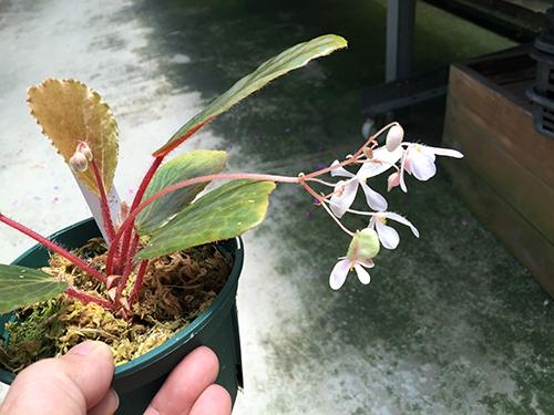 blancii brownish form001