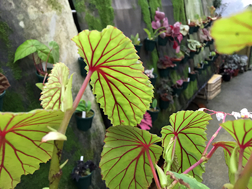 chlorosticta(s)Green001