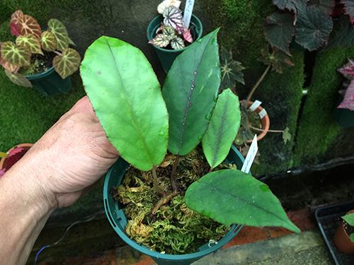 longipetiolata(sp)syn.gladiifolia(longipetifolia)001