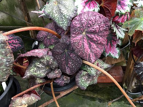 Curly Purple Stardust001