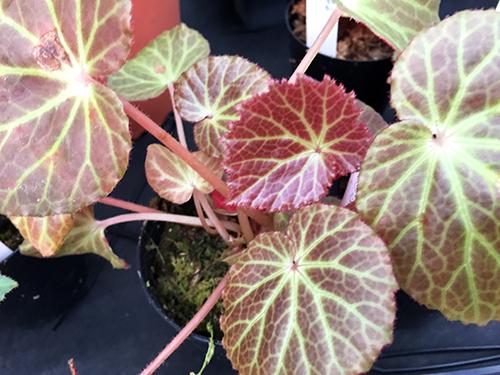 Glossy brown unknown begonia/光沢茶色不明ベゴニア