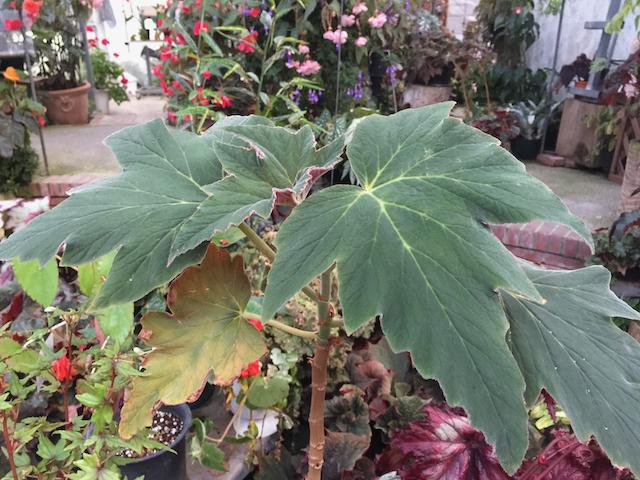 Plantanfolia/プランタンフォリア