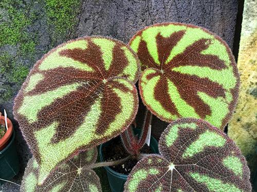 variegata /バリエガータ