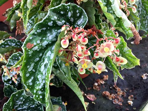 """B.sp""""vetnam""""green flower001"""