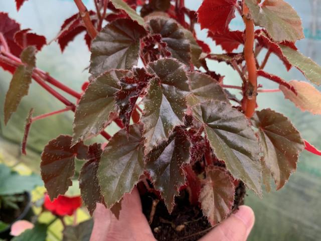 RichmondensisPurpurea/リッチモンデンシス・パープレア